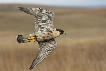 Falco pellegrino - Peregrine Falcon (Falco peregrinus)
