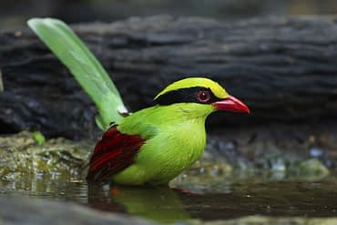 Deep Common green magpie