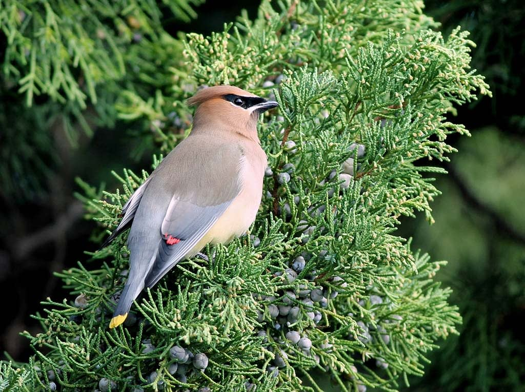 Cedar Waxwing on Juniper